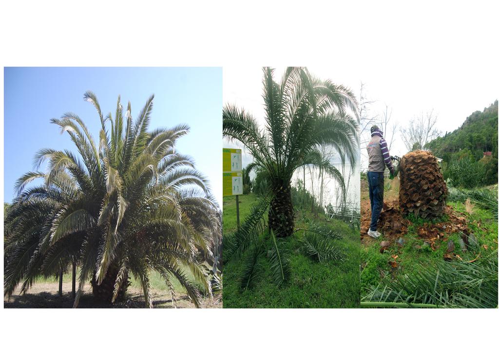 Storia di una palma